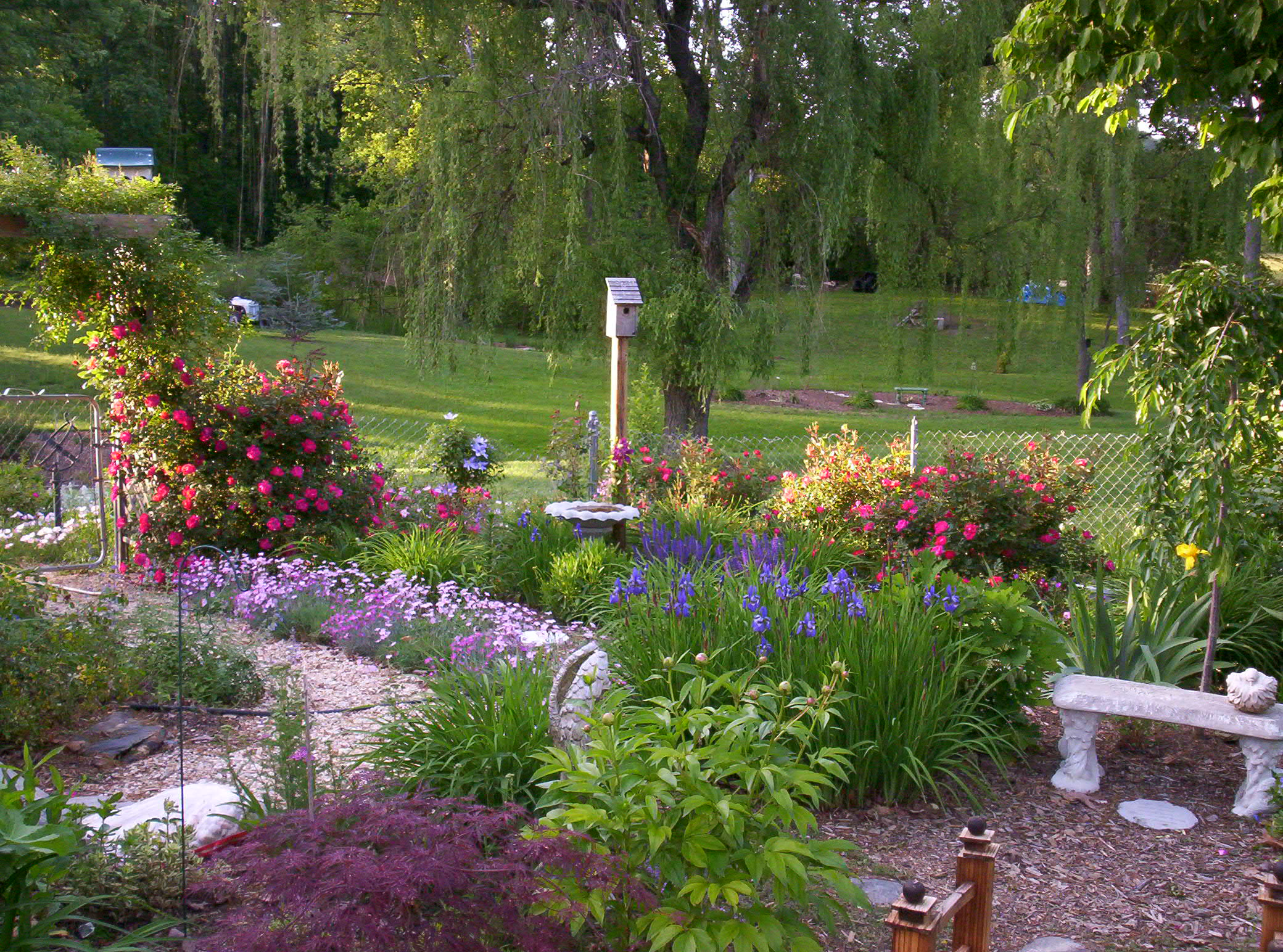 Растение Veronica в саду