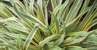 Пестролистный агапантус на фото