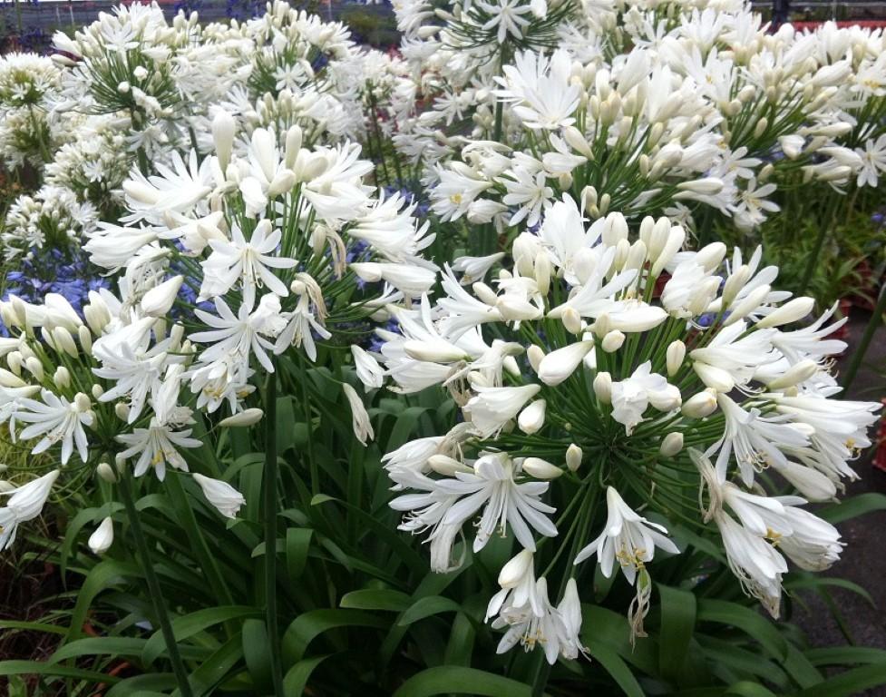 Агапантус выращивание и уход в домашних условиях