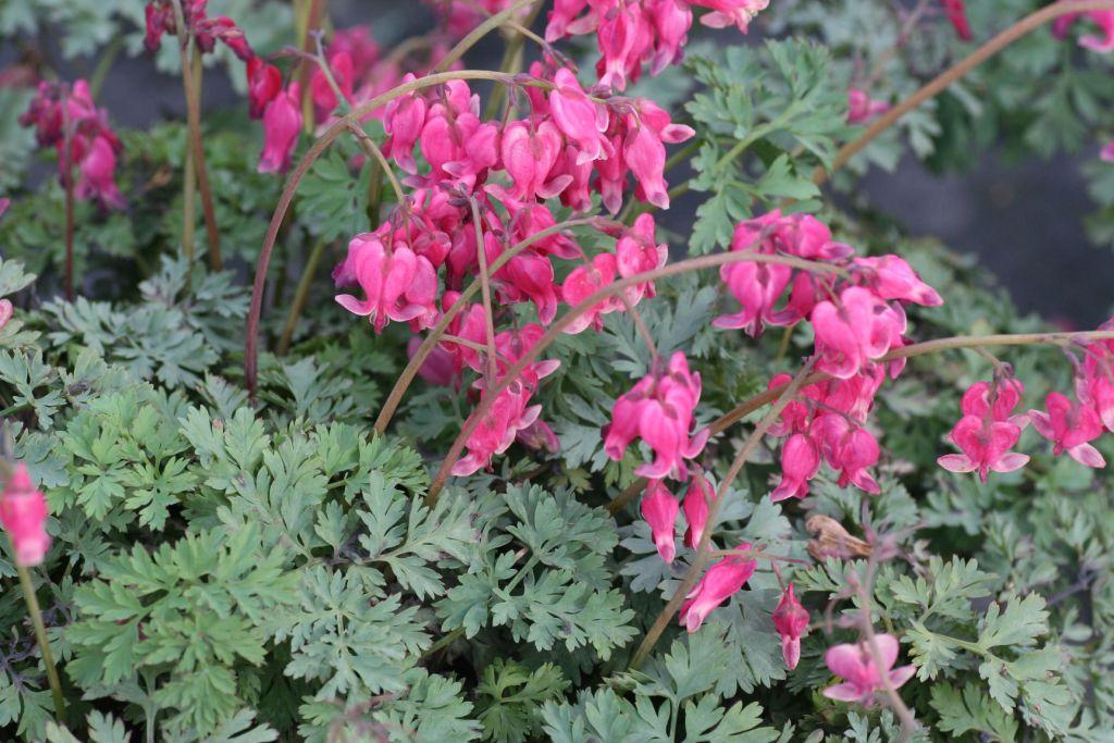 dicentra-king-of-hearts