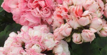 Герань тюльпановидная, сорт Эппл Блоссом