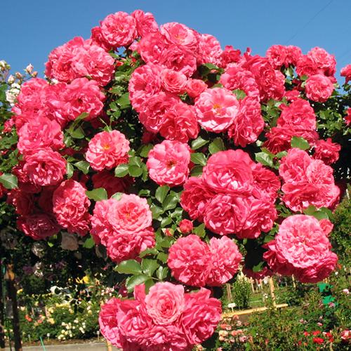 Роза плетистая розариум ютерсен фото и описание