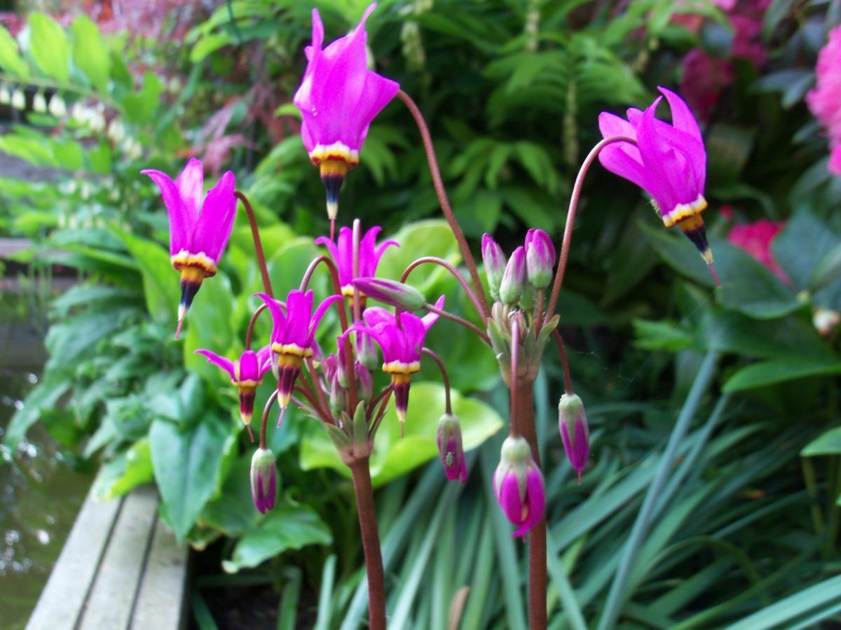 Дряквенник розовый аист выращивание 82