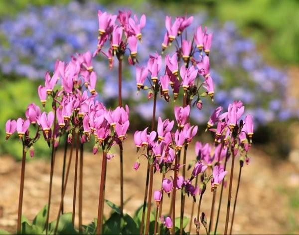 Дряквенник розовый аист выращивание 70