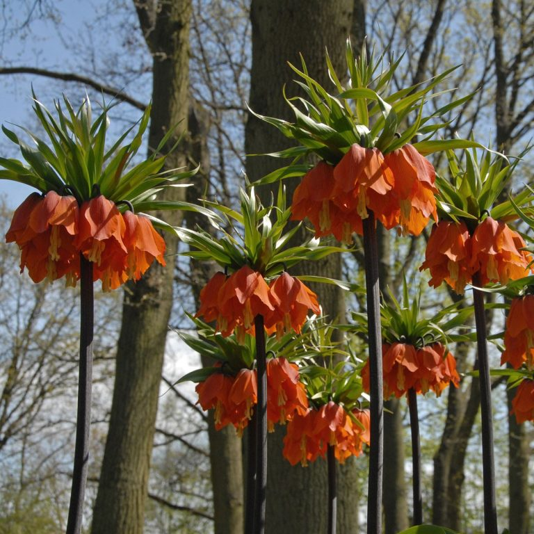 Fritillaria-imperialis-rubra-maxima