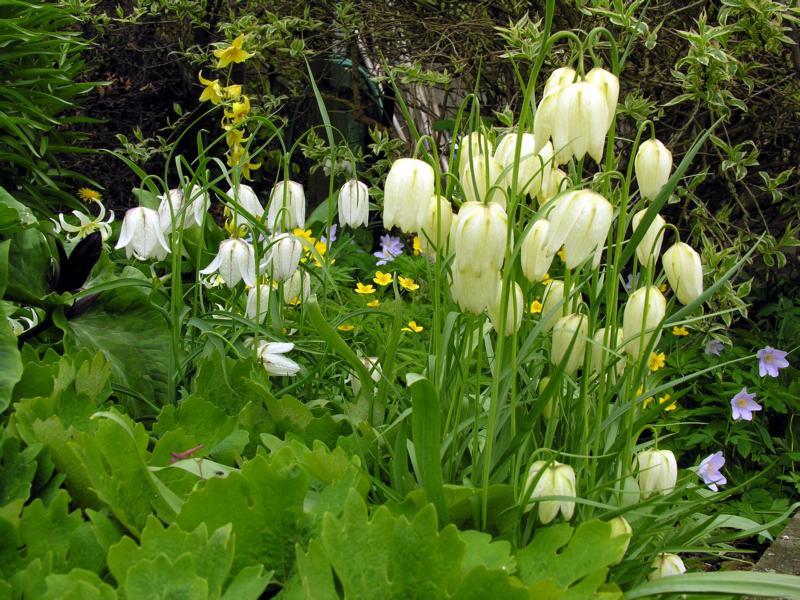 Рябчик императорский Выращивание и уход Мой сад огород