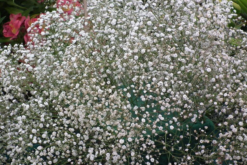 Гипосфила метельчатая: сорта с фото, посадка, уход, выращивание из семян