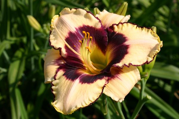 Hemerocallis Canadian Border Patrol
