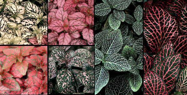 Гипоэстес: выращивание из семян, уход в домашних условиях, фото