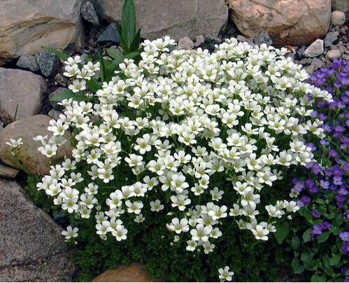 Камнеломка - неприхотливый и очаровательный многолетник для альпийской горки