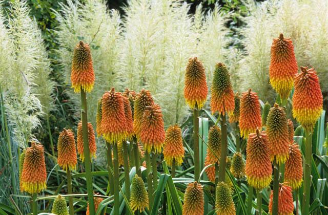 Книфофия линейнолистная (linearifolia) в сочетании с кортадерией (пампасной травой).