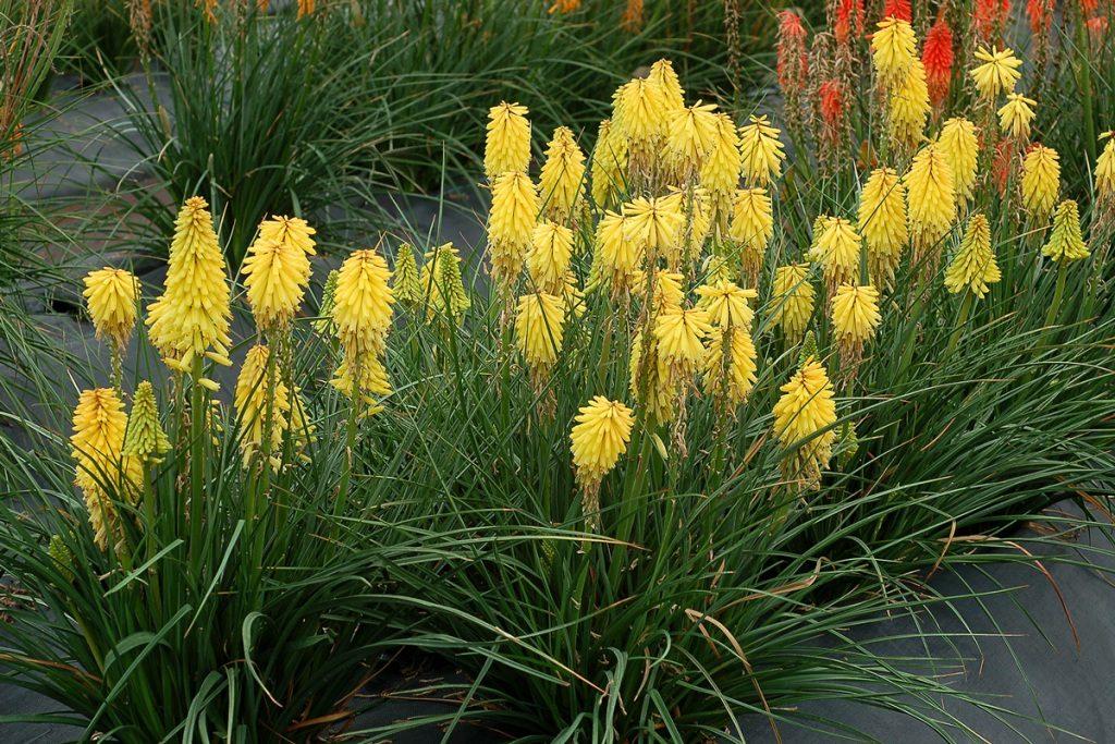 Kniphofia Poco Yellow