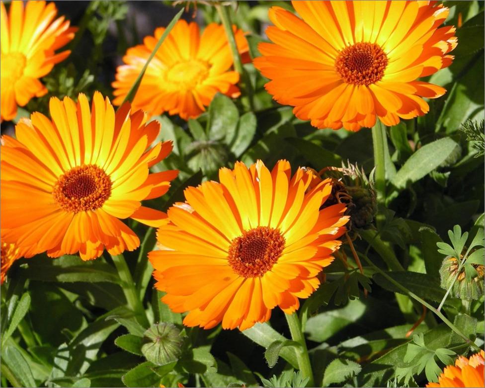 Лекарственные травы и растения для сада и домашней аптеки