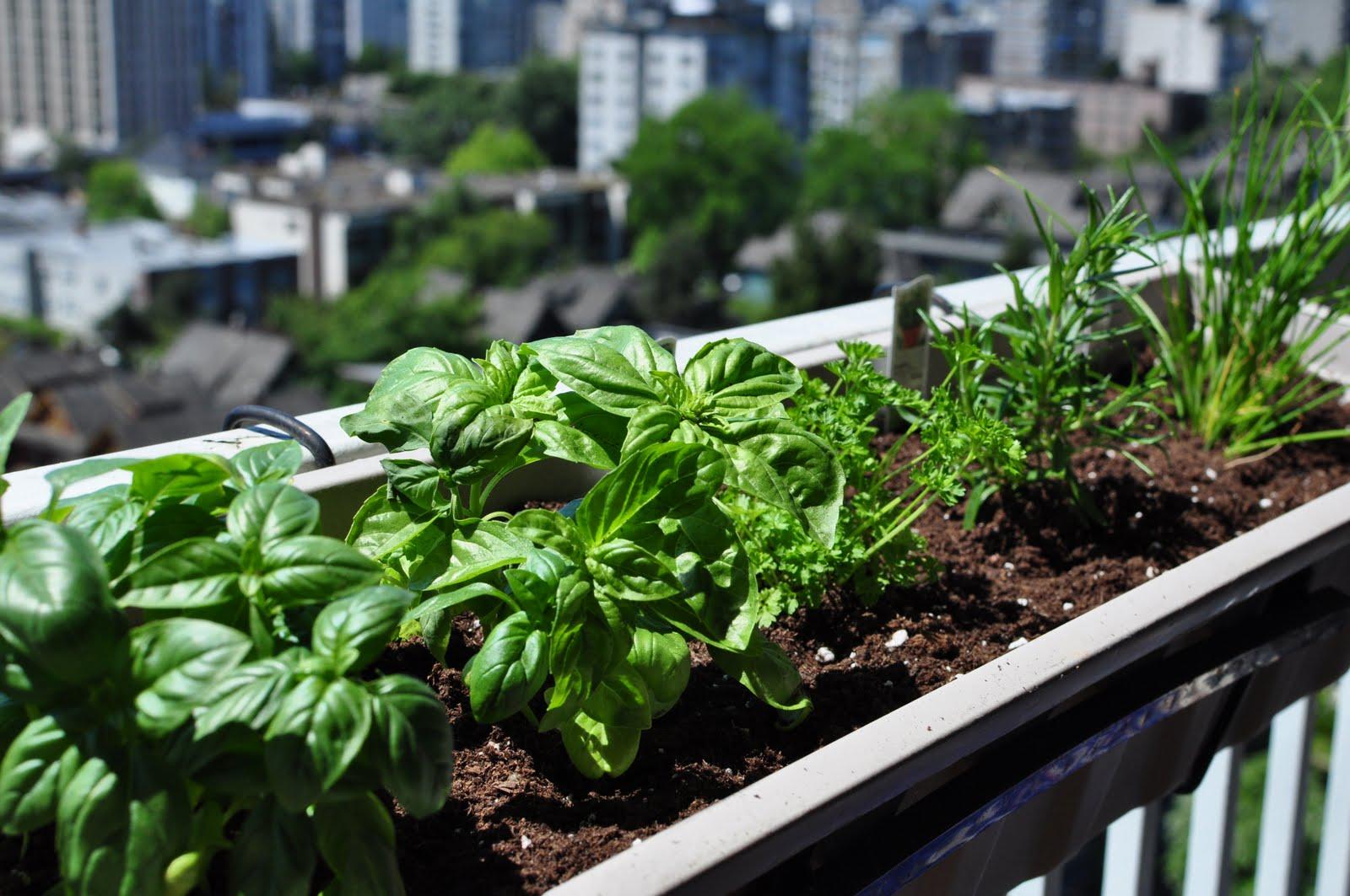 Лекарственные травы на балконе