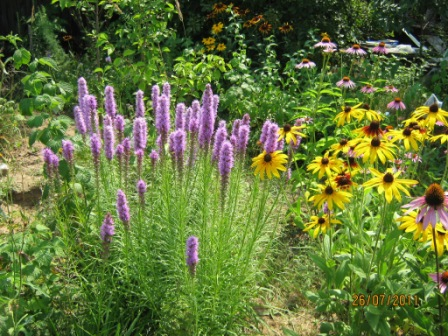 Лиатрис: виды, сорта, выращивание из семян, посадка, уход