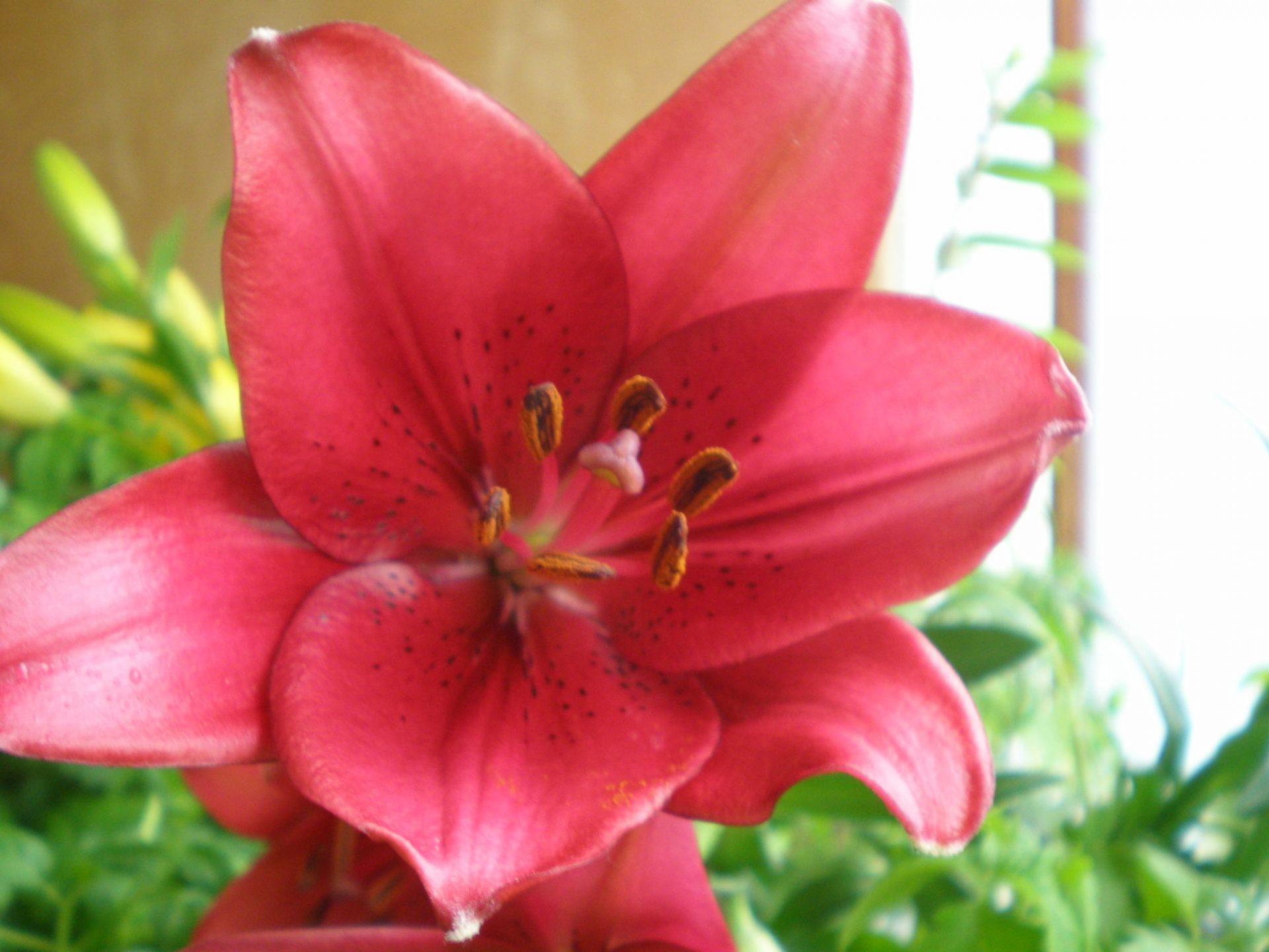 Лилии Ла-гибриды: покупка, посадка, уход, лучшие сорта с фото
