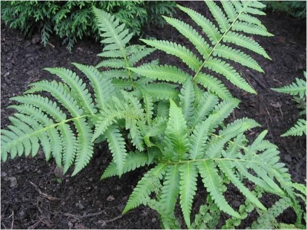 Папоротник страусник: фото растения, посадка и уход