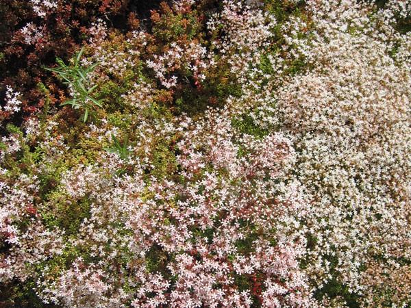 Корал карпет – белый мох