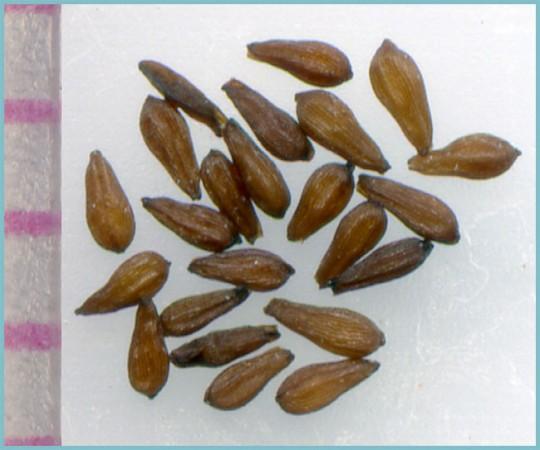 Семена седума