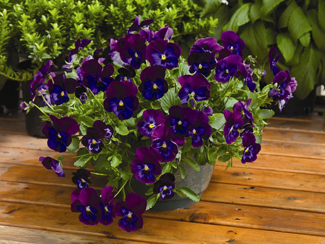 Виола Wonderfall Purple and Blue Shades