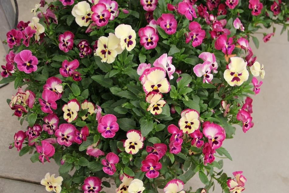 Виола Wonderfall Rose Shades