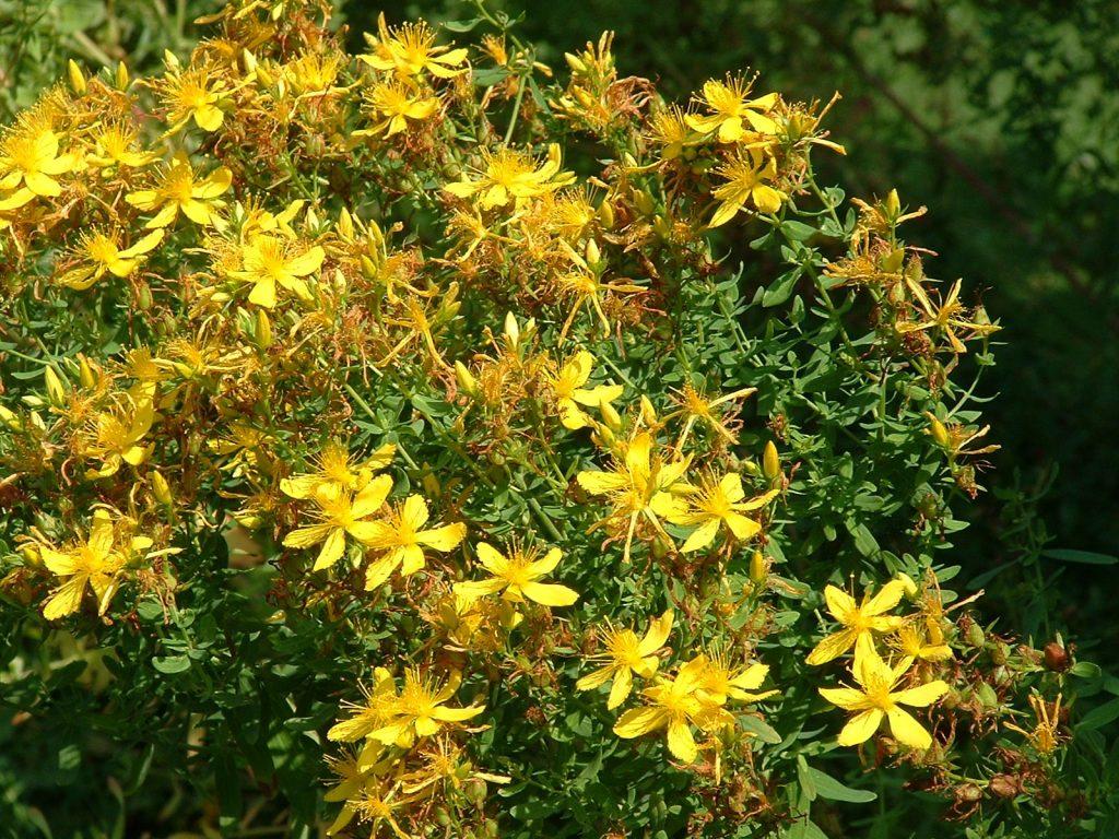 Желтый цветок полезный