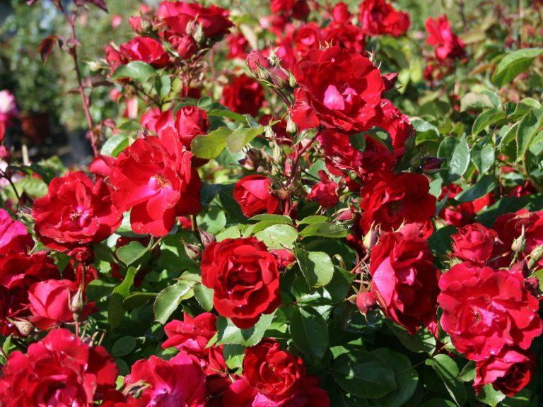 Канадские розы уход