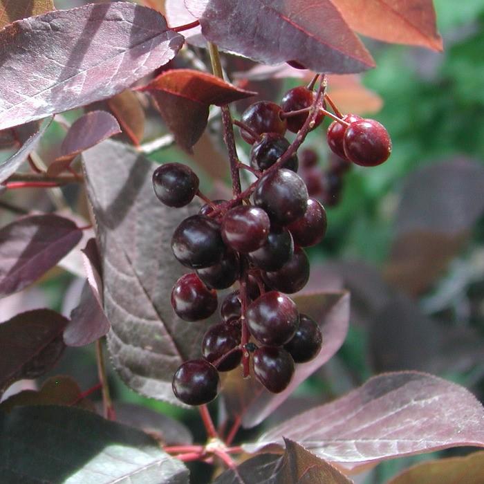 Черемуха Виргинская: сорта, уход, выращивание, применение в ландшафтном дизайне