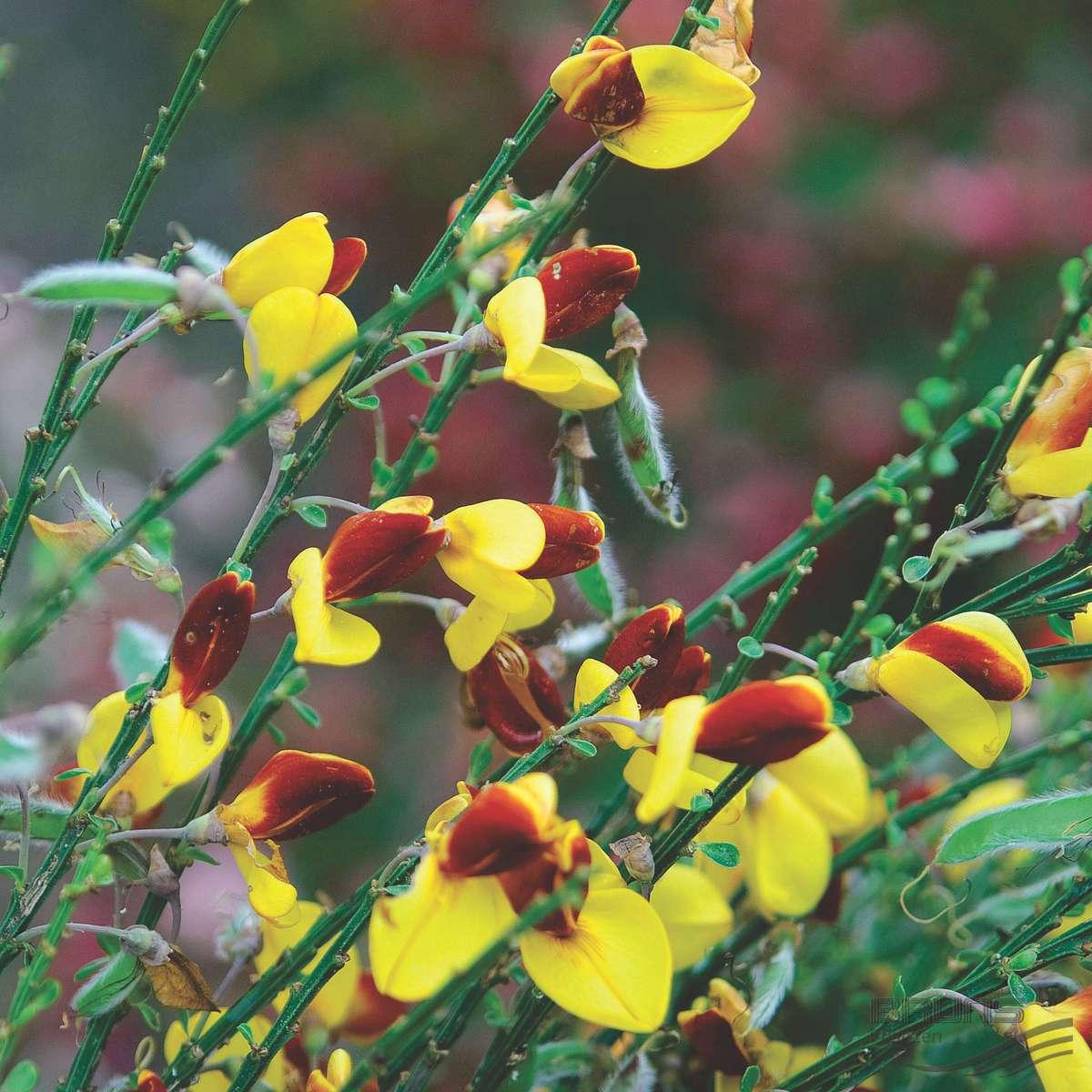 Ракитник: виды и сорта, посадка, уход и размножение
