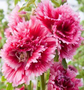 Агротехника шток-розы: правильная посадка и уход для пышного цветения
