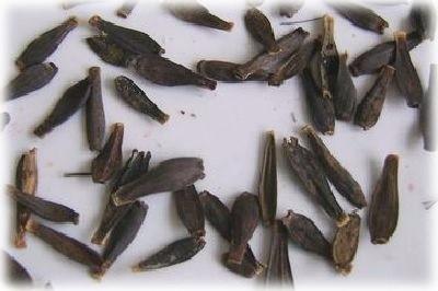 Выращивание однолетних георгинов