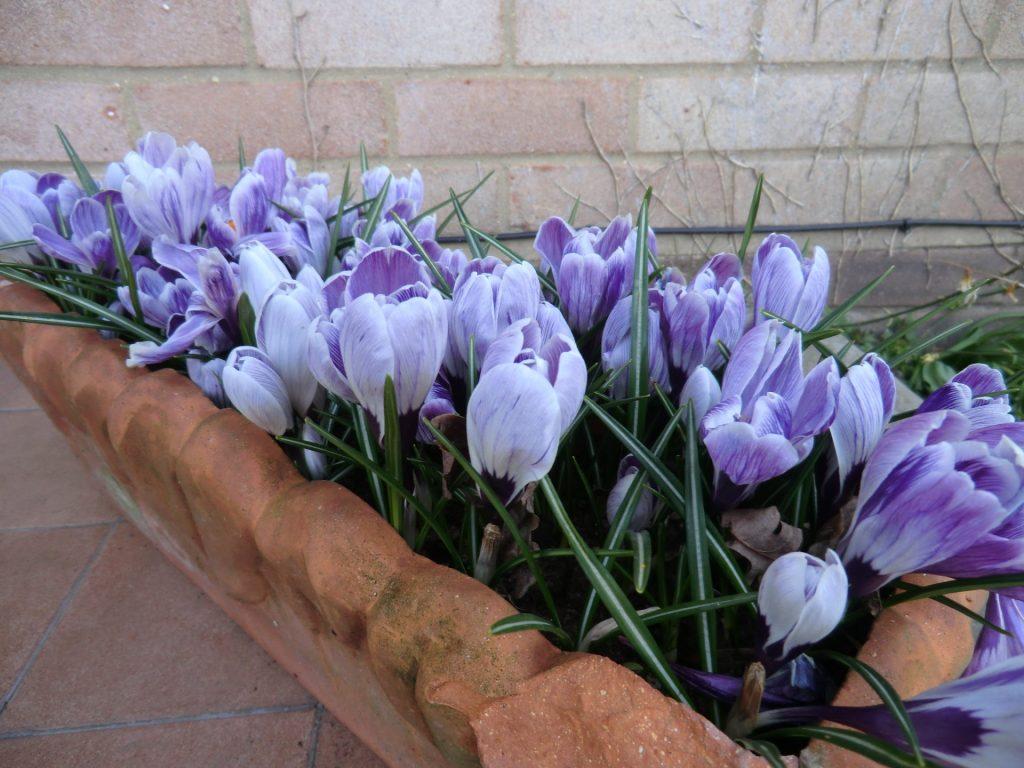 Крокусы посадка и уход в открытом грунте и домашних условиях Фото цветов