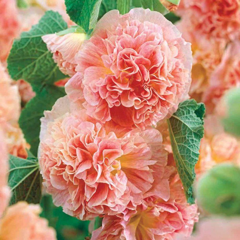Зарубежный сорт шток-розы 'Peaches 'n' Dreams.