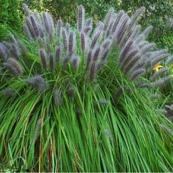 Пеннисетум: виды, выращивание, уход, применение в ландшафтном дизайне