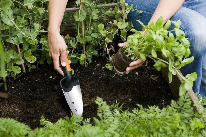 Пикировка растений: что это такое и как пикировать правильно