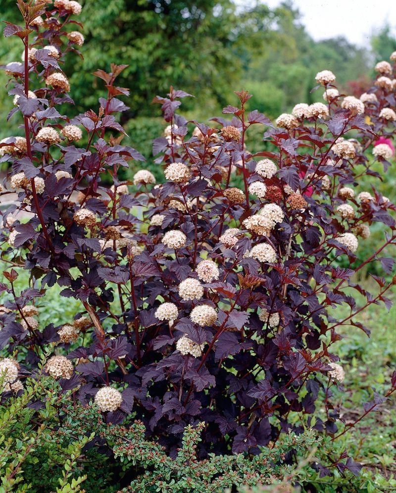 Пузыреплодник: виды и сорта, посадка и уход, фото в саду