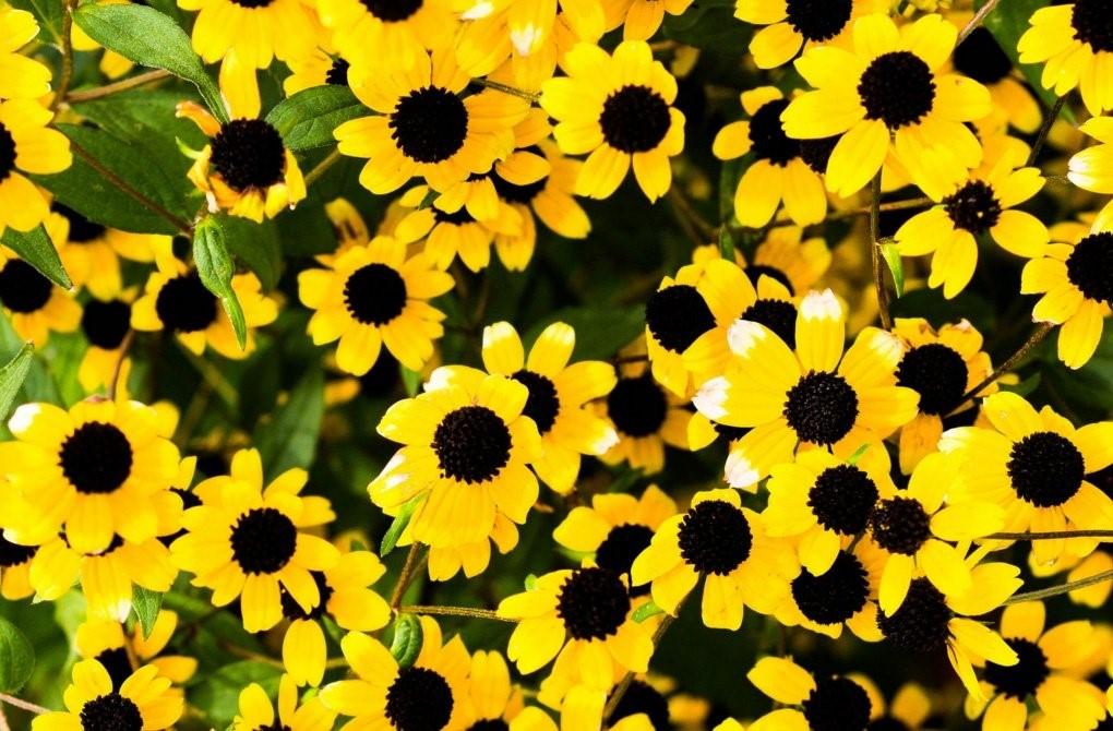 Санвиталия: сорта, фото, выращивание, применение в ландшафтном дизайне