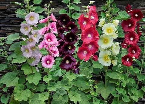 Шток-роза: виды, сорта и применение в ландшафтном дизайне