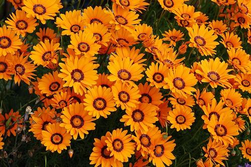 Цветки урсинии