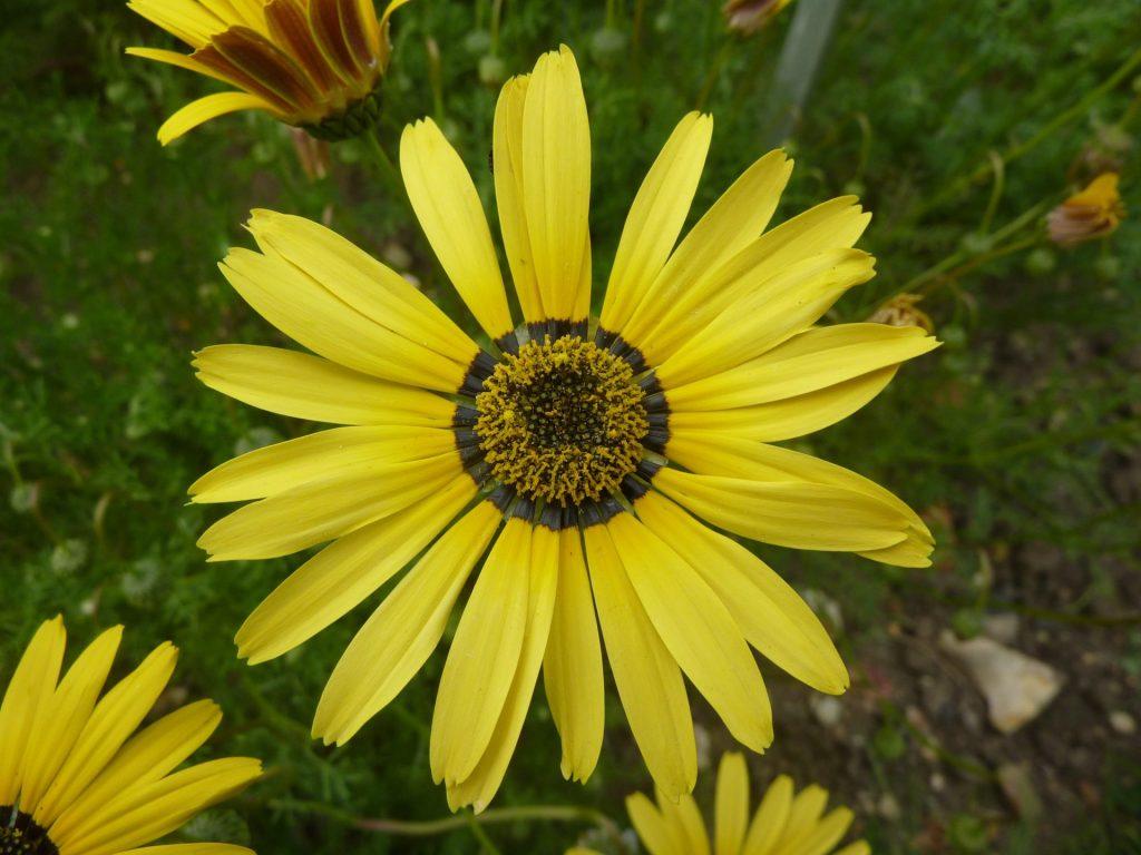 Урсиния: виды и сорта, выращивание, уход, фото