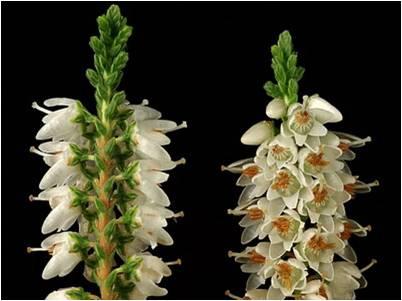 Верест растение фото