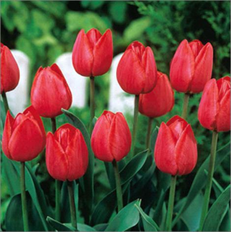 Тюльпаны к 8 марта: секреты успешной выгонки
