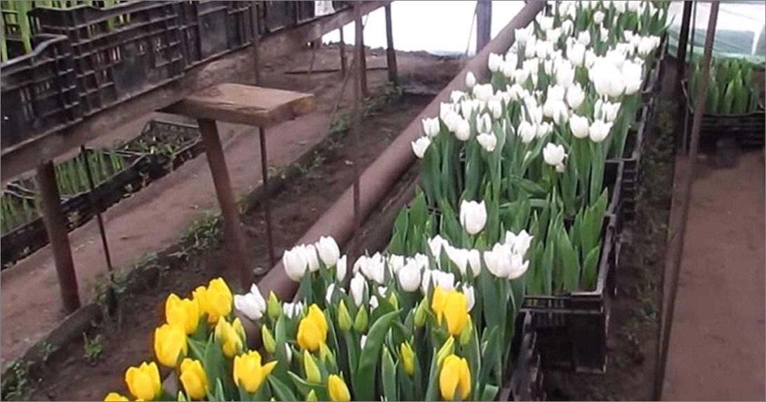Выращивание тюльпан в ящиках 276