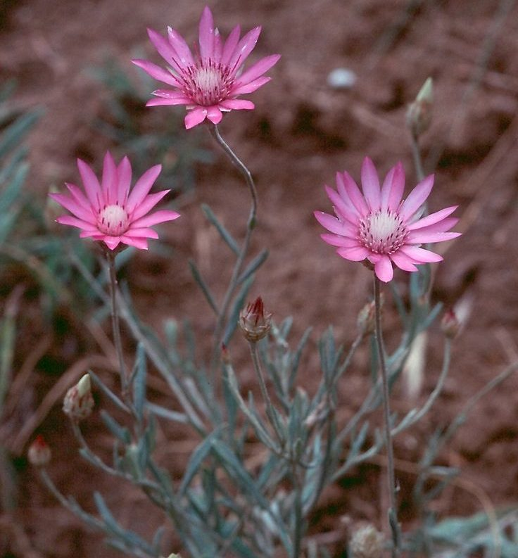 Ксерантемум выращивание из семян 655