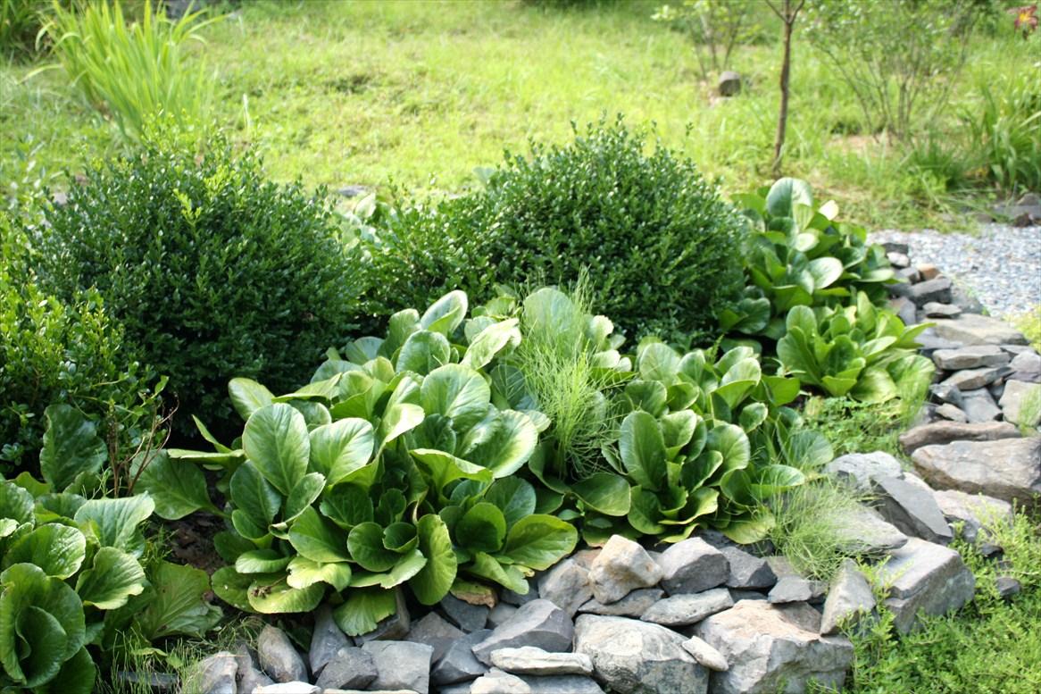 Бадан: виды, сорта, как и с чем посадить, фото в саду