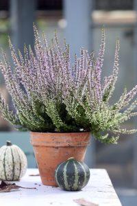 Вереск: фото растения, особенности посадки и ухода