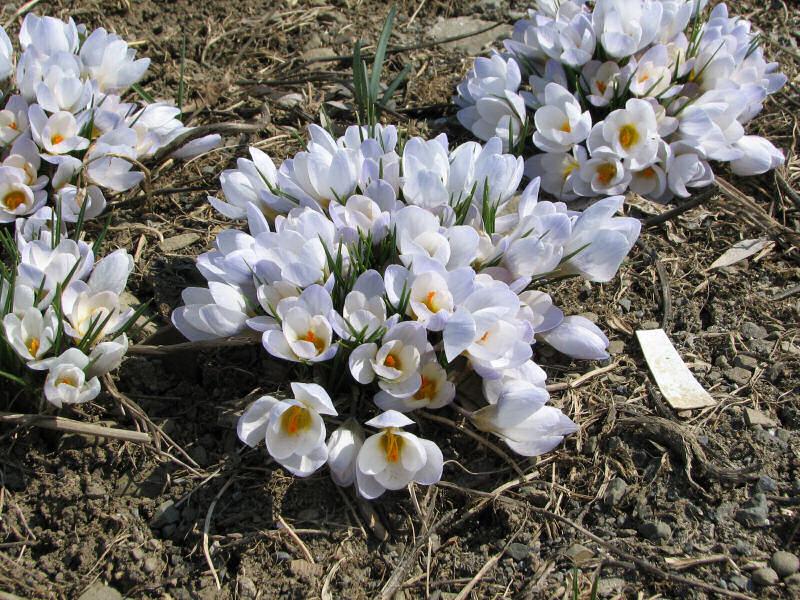 Крокусы в горшке и открытом грунте - полная инструкция по выращиванию и уходу