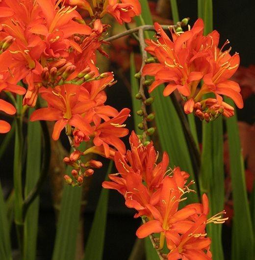 Крокосмия (монтебреция): как выращивать японский гладиолус
