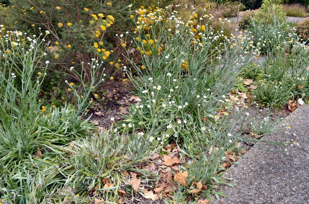 Необычная ромашка аммобиум в саду и в букете