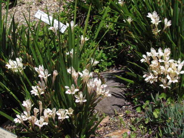 Бабиана: фото, посадка и уход в открытом грунте